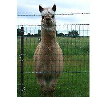 Emu Llama behind barbwire fence Photographic Print