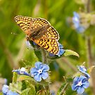 Glanville Fritillary by Durotriges