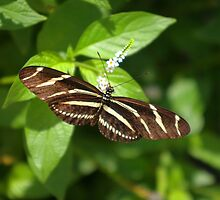 Zebra Longwing Butterfly by Jcook