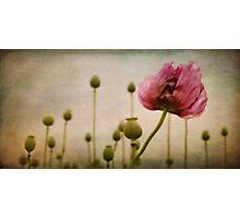 Depth of (Poppy-) Field Photographic Print
