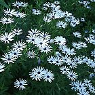 Blue-eyed Daisies by Maggie Hegarty