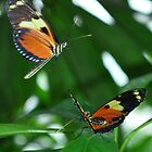 Courting Butterflies by Photodx