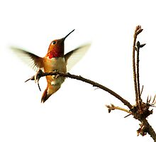 Male Rufous Hummingbird Comes to His Favourite Perch by David Friederich