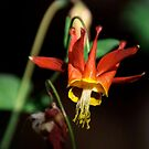 Columbine by Kirstyshots
