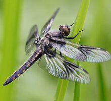 Young Spotted Marsh Dragon by Wolf Read