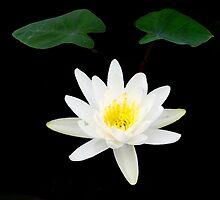 illuminated lotus by GuyAmazed