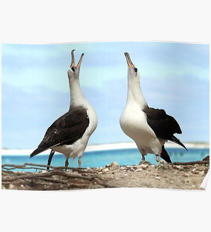 Dancing Laysan Albatrosses Poster
