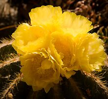 Cactus Flowers by Mark Ramstead