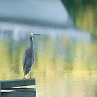 White faced heron with reflections by Barry Culling