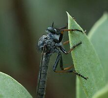 Robber Fly by Karen Zimmerman