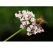 Honey bee on valerian flower Photographic Print