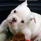 Fuzzy The Bulldog Puppy by copperhead