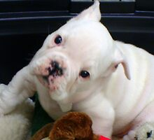Fuzzy The Bulldog Puppy by copperhead