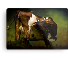 Cows Bum Metal Print