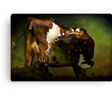 Cows Bum Canvas Print