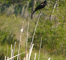 Redwing Blackbird by Barrie Daniels