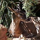 Deer Resting by RichImage