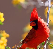 Cardinal in the Desert by RichImage