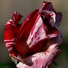 Going to bloom - Two Tone Rose by Joy Watson