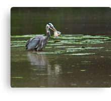 Great Blue Heron with fish Canvas Print