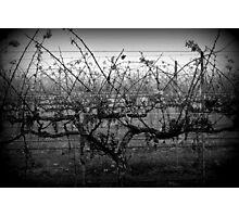 Winter Vineyard, Near Carlyle Cemetery, Rutherglen Photographic Print