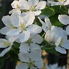 Crab Apple Blossoms by Christopher Clark