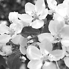Crab Apple Blossoms in Black and White by Christopher Clark