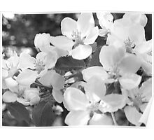 Crab Apple Blossoms in Black and White Poster
