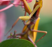Yellow Praying Mantis, Mission Beach NQ by Susan Kelly