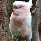"""""""Major Mitchell's Cockatoo"""" by Sue  Fellows"""