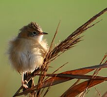 Golden-headed Cisticola in the morning sun by Stuart Cooney