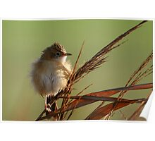 Golden-headed Cisticola in the morning sun Poster