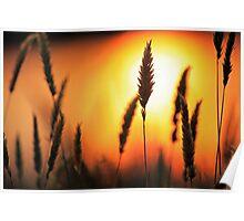 Blazing Summer Grass Poster