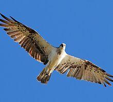 Osprey Soaring by Ken Morcom