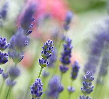 Lavender dreams by buttonpresser