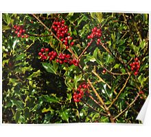 Holly with berries Poster