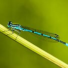 Lovely Blue by Robert Abraham