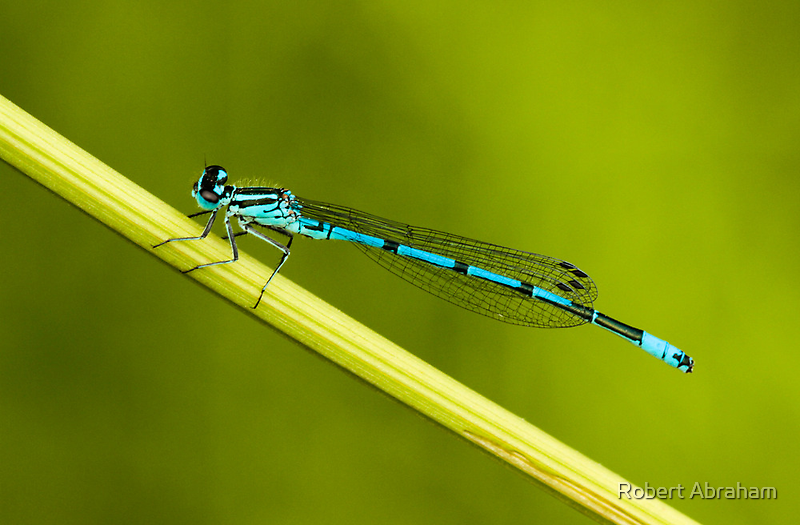 Lovely Blue by Robert Abraham
