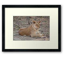 Lioness in winter  Framed Print