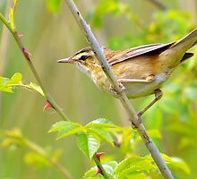 sedge warbler a rose between several thorns by Grandalf