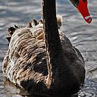 Swanning Around by bazcelt
