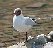Black-headed gull (Chroicocephalus ridibundus) - 2 by Wizi-Top