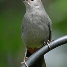 Gray Catbird by okcandids