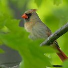 Cardinal by okcandids