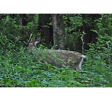 Doe in the woods Photographic Print
