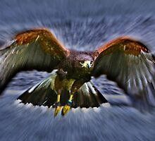 Harris Hawk by Geoff Carpenter