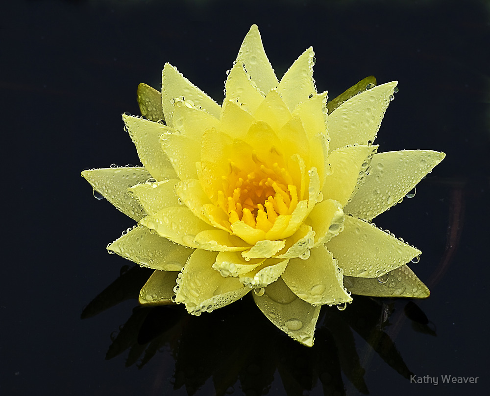 Rain Drenched Lily by Kathy Weaver