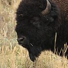 The Bison by J. L. Gould