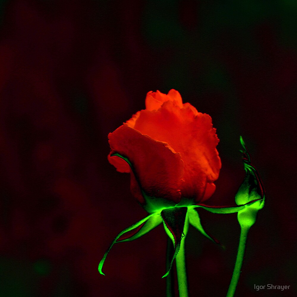 Red Rose by Igor Shrayer