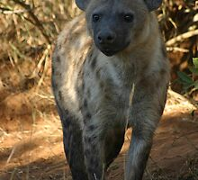 Spotted Hyaena  by 3phoria